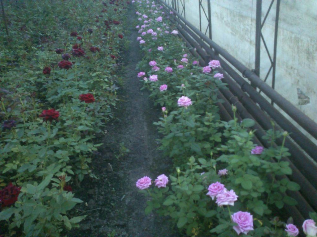 Выращивание роз в зимней теплице, позволяет использовать разные виды и сорта цветов одновременно, учитывая их одинаковые условия роста