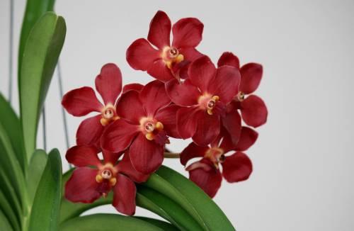 Яркие красные цветки орхидеи не только украсят вашу комнату, но и могут создать красочный акцент в интерьере помещения