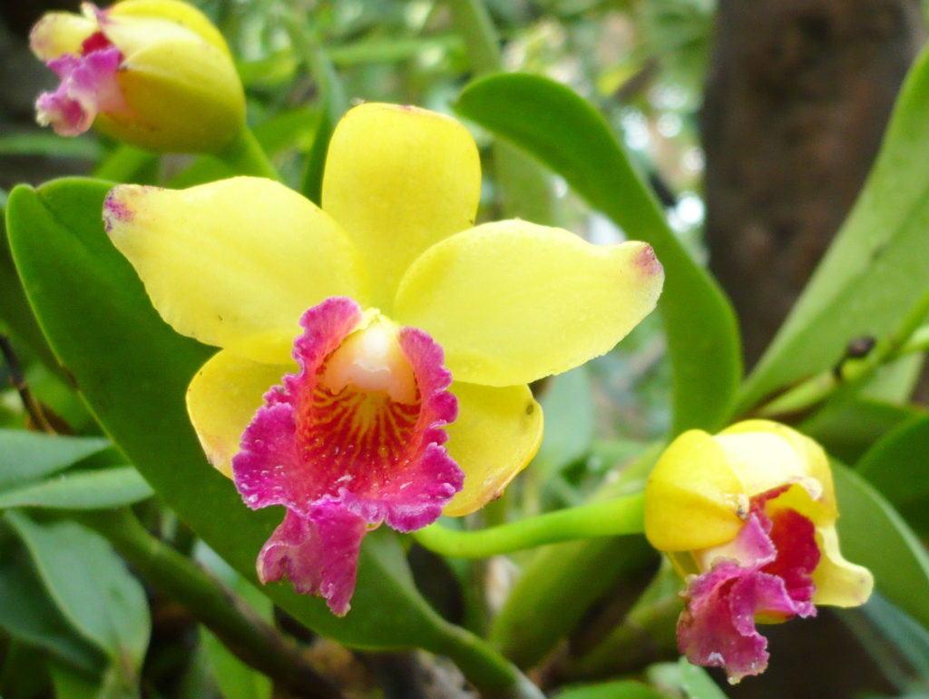 Ярко-жёлтая расцветка лепестков орхидеи подарит праздничное настроение даже в пасмурные дни