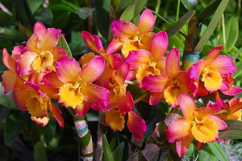 Яркость орхидеи Дендробиум притягивает взгляды, таким цветком не стыдно хвастаться