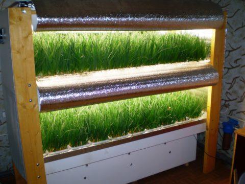 Мы видим домашнюю теплицу, по выращиванию лука в деревянном стеллаже.