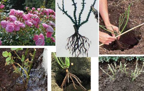 Этапы пересадки растения в открытый грунт.