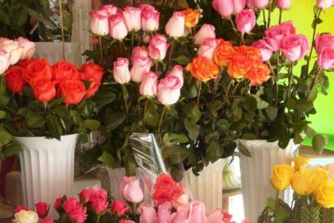 Как вырастить красивые розы.