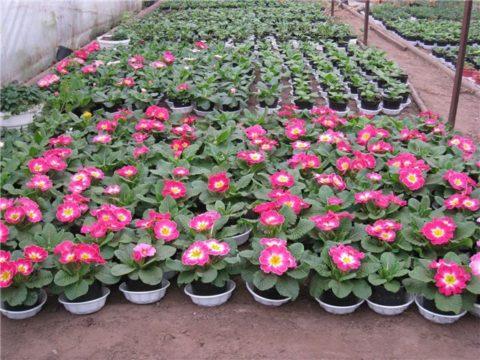 Если создать условия, вырастить цветущую примулу в теплице можно в любое время года.
