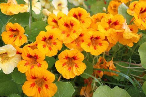 Эти цветы за схожесть с монашеским капюшоном иногда называют Капуцинами