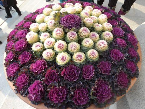 Из одной только декоративной капусты разных сортов, можно создавать клумбы удивительной красоты