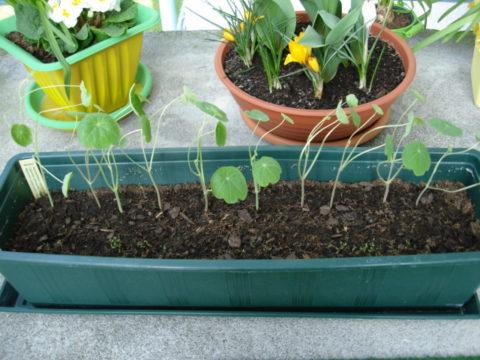 Неправильное выращивание рассады: в общем контейнере и при недостатке света