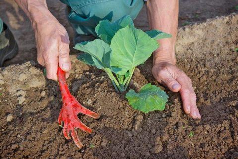 Окучивание декоративной капусты