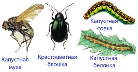 Основные вредители декоративной капусты