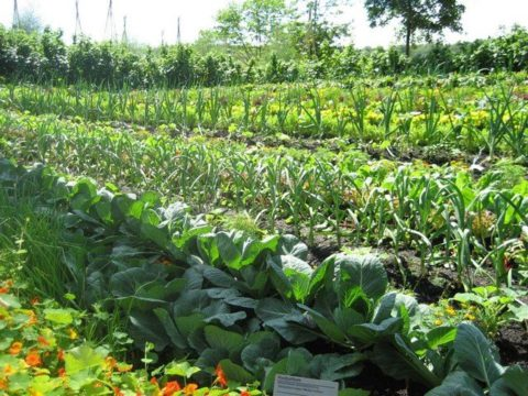 Посадки настурции между грядками украсят огород и защитят овощи от тли