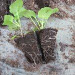После обильного полива растения легко вынимаются из стаканчика с комом земли