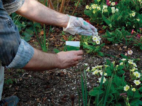 Удобрение проводят во время обильных дождей или после полива по влажной земле