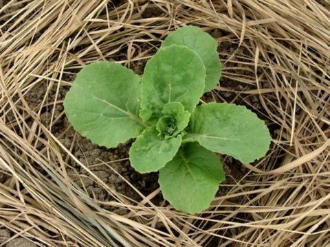 В качестве мульчи можно использовать скошенную траву, солому, древесную кору