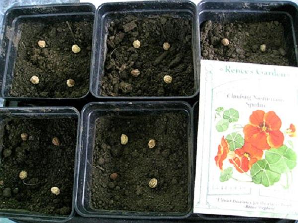Настурция выращивание из семян в домашних 31