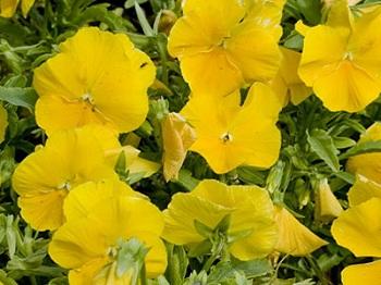 Золотисто-желтая