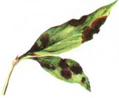 Листья пиона с бурой пятнистостью