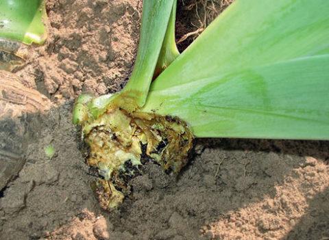 Бактериоз или мягкая гниль корневища растения