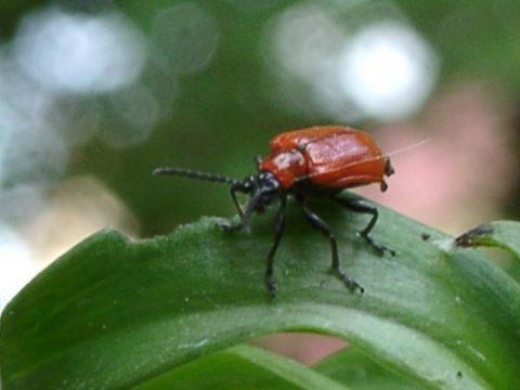 Красный лилиевый жук