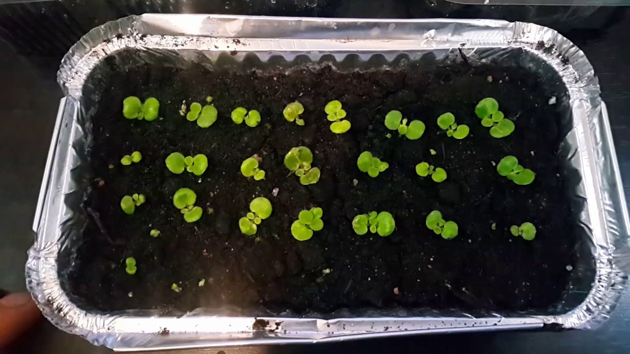 Эухарис выращивание из семян в домашних условиях