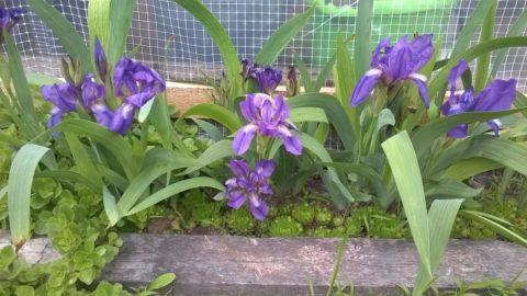 Выращивание ирисов в теплице