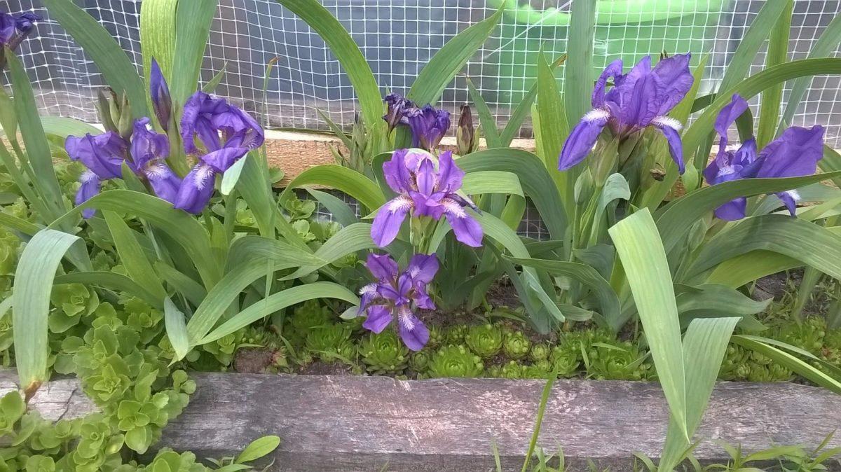 Выращивание ирисов и уход за цветками. Сорта и виды