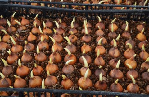 Высадка луковиц ириса