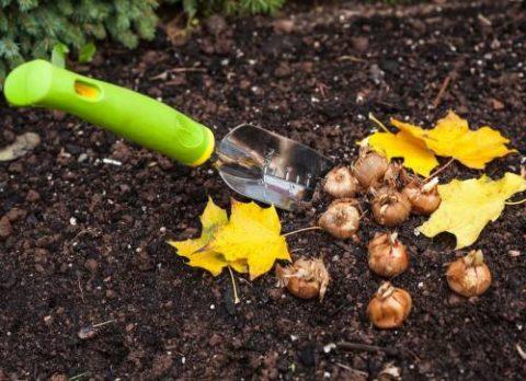 Подготовка луковиц к высадке