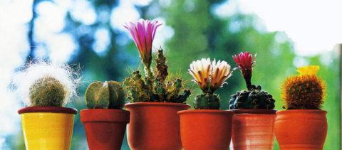 Рост кактусов