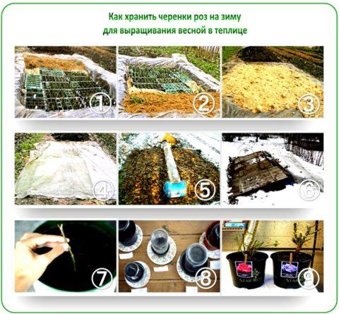Хранение и подготовка черенков к посадке