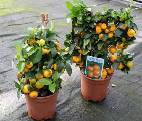 Каламондин, выращиваемый в теплице
