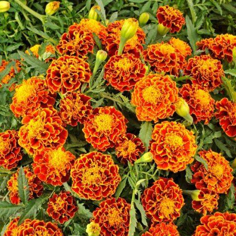 'Orange flamme' илиОранжевое пламя