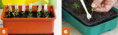 Пикирование растений в контейнере