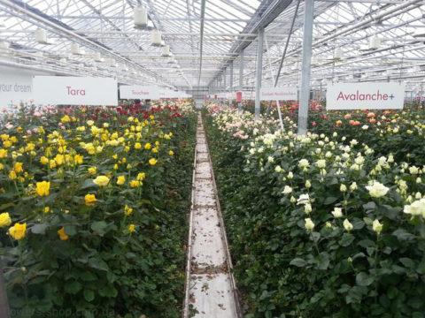 Размещение роз в теплице