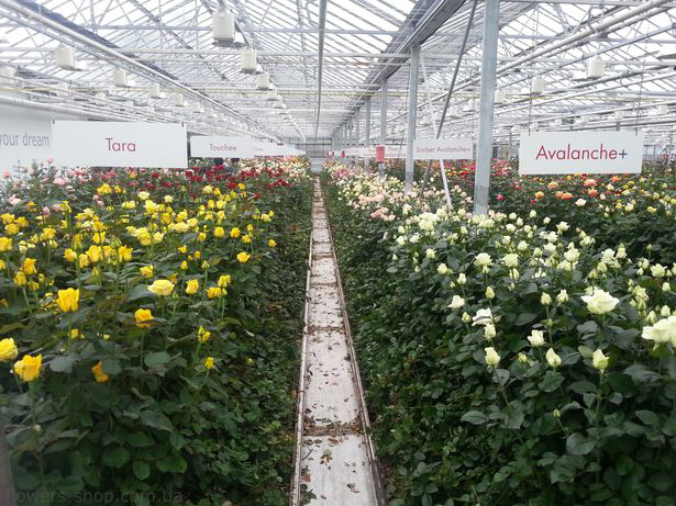Выращивание роз для бизнеса 198