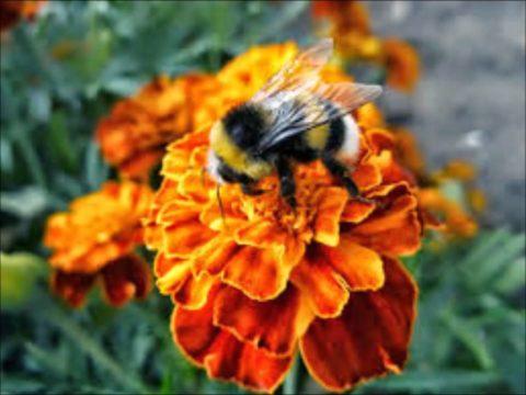 Цветок привлекает пчелок