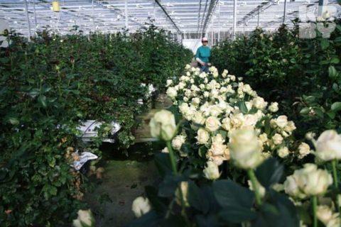 Выращивание роз на срез
