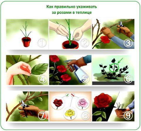 Выращивание роз в теплице