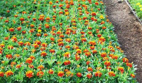 Высаживание цветов в грунт