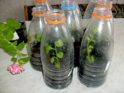 Бутылки с широким горлышком – тоже отличный вариант теплички для укоренения черенков