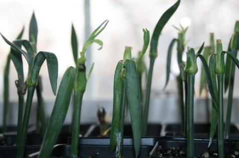 Для быстрого образования корней черенкам нужен свет, влага и свежий воздух