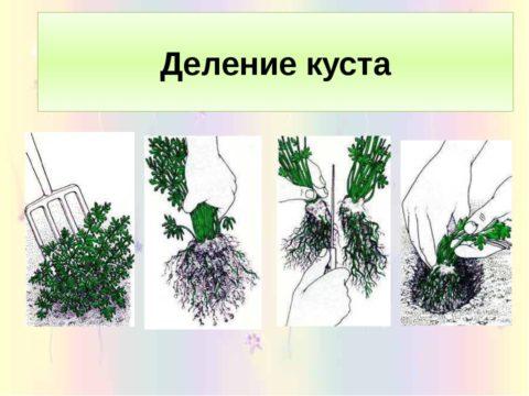 Этапы размножения азалии делением куста