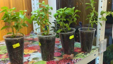 Готовые к посадке в открытый грунт молодые растения
