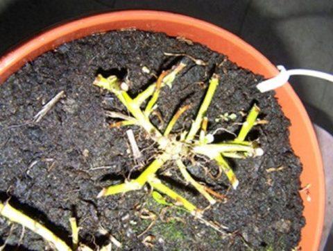 Низкая обрезка маточного растения
