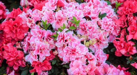 Разнообразие расцветок азалии