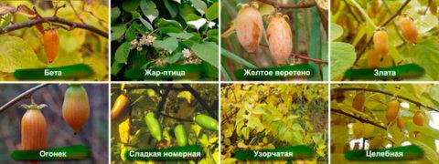 Сорта актинидий