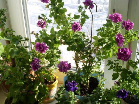 В конце зимы маточные растения уже могут цвести