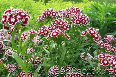 Внешне турецкая гвоздика отличается от садовых и оранжерейных сортов