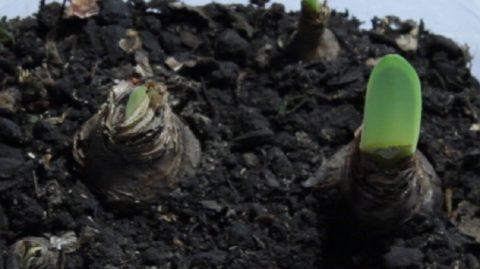 Не меньше половины луковицы должно остаться над поверхностью почвы