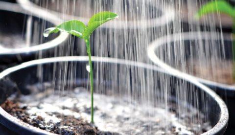 Полив и опрыскивание – основные методы ухода за рассадой