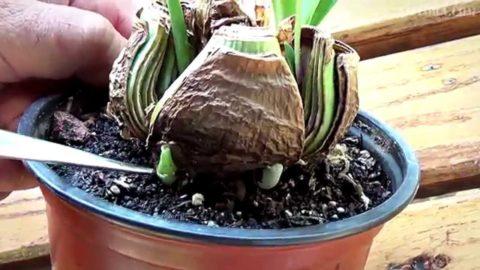 При делении луковицы на части в каждой должен остаться цветонос